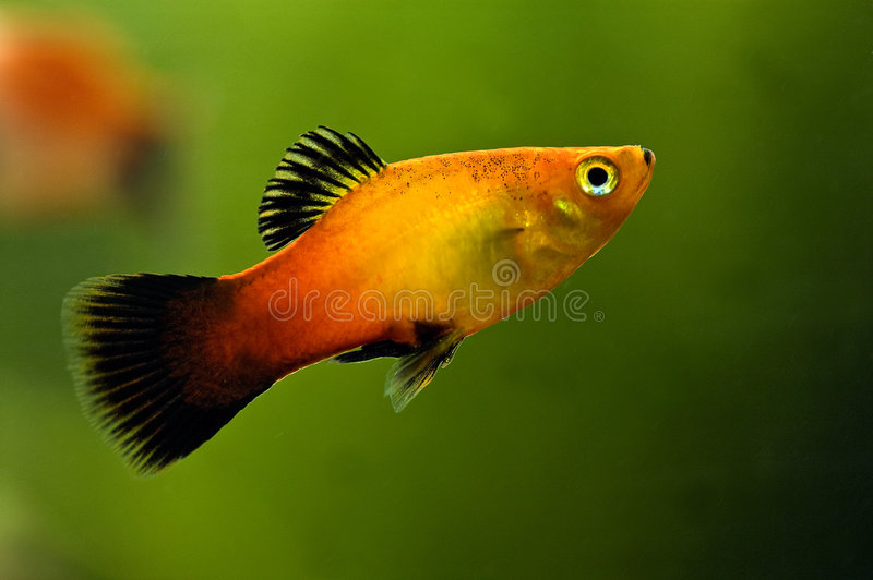 Platy closeup. A colorful tropical platy fish, closeup a soft green background