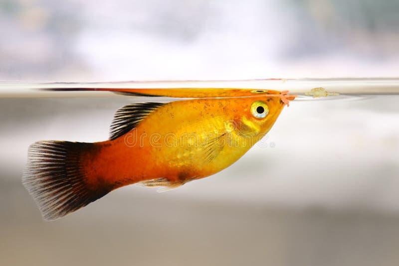 Platy som äter fiskflingamat från tjänste- matande akvariefisk royaltyfri foto