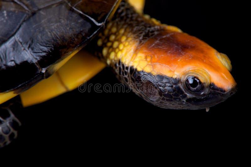 platycephala Torsione-con il collo di Platemys della tartaruga immagini stock libere da diritti