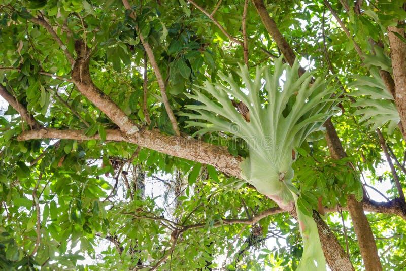 Platycerium encaramado en un árbol imagenes de archivo