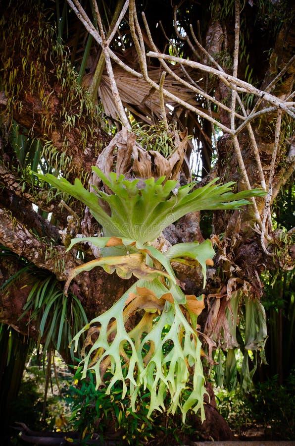 Platycerium på trädet royaltyfria foton