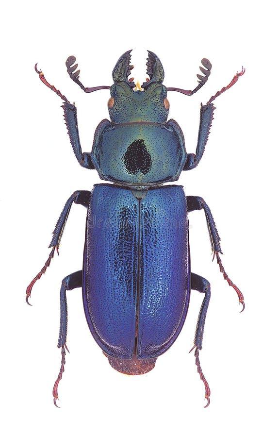 Download Platycerus Capraea Stag Beetle Stock Image - Image: 29543509
