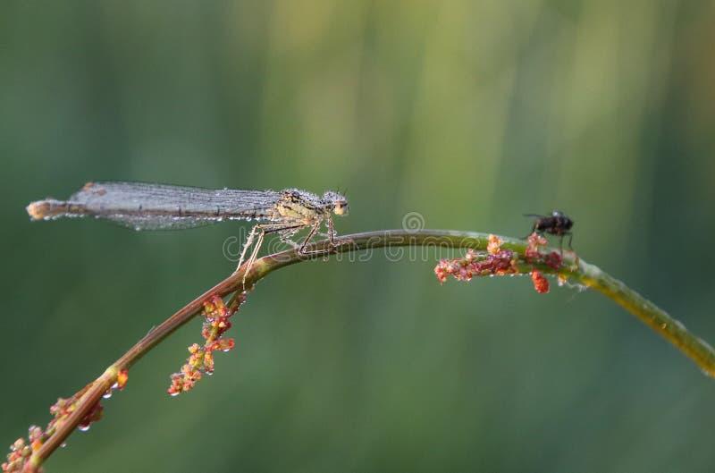 Platycnemididae is een familie van damselflies stock afbeelding