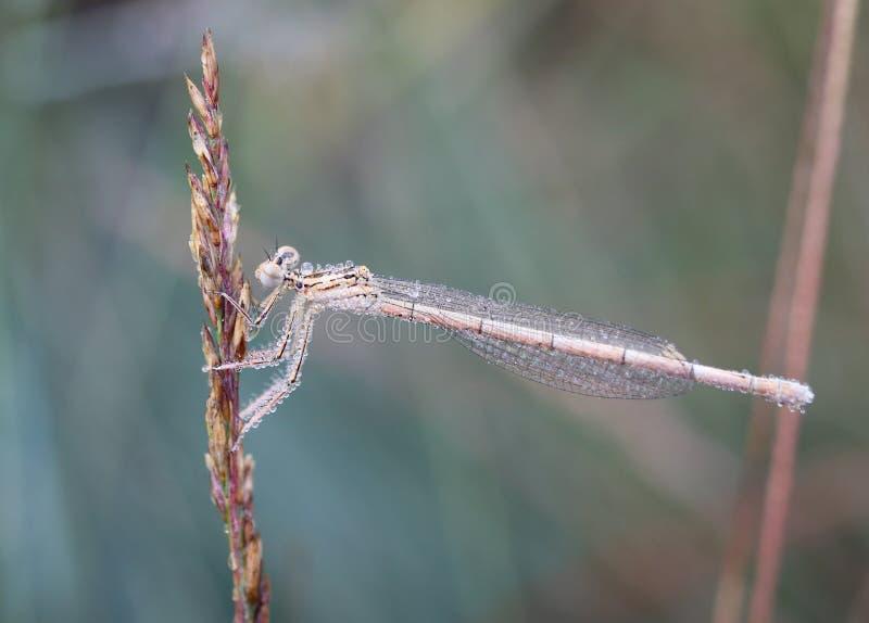 Platycnemididae jest rodziną damselflies obrazy stock