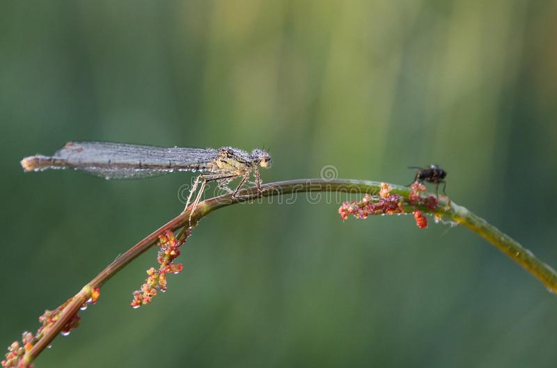 Platycnemididaen är en familj av damselflies fotografering för bildbyråer