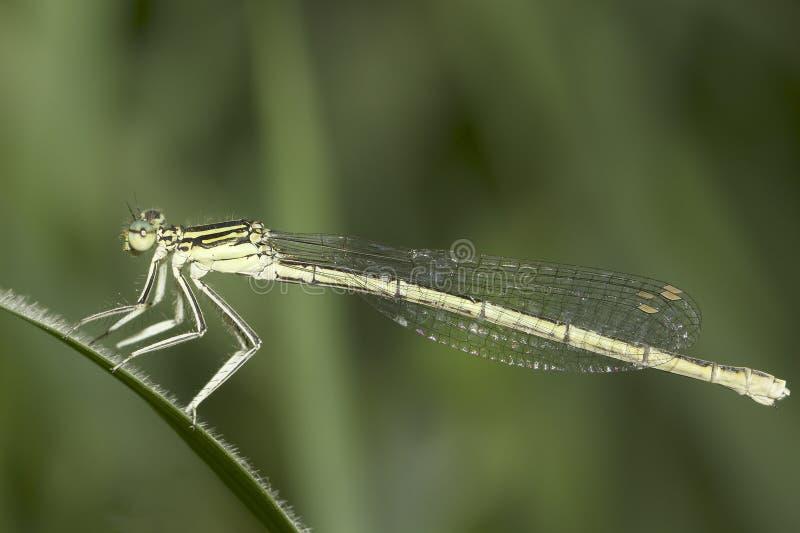 Platycnemis pennipes/Vit-lade benen på ryggen damselflyen, kvinnlig närbild arkivfoton