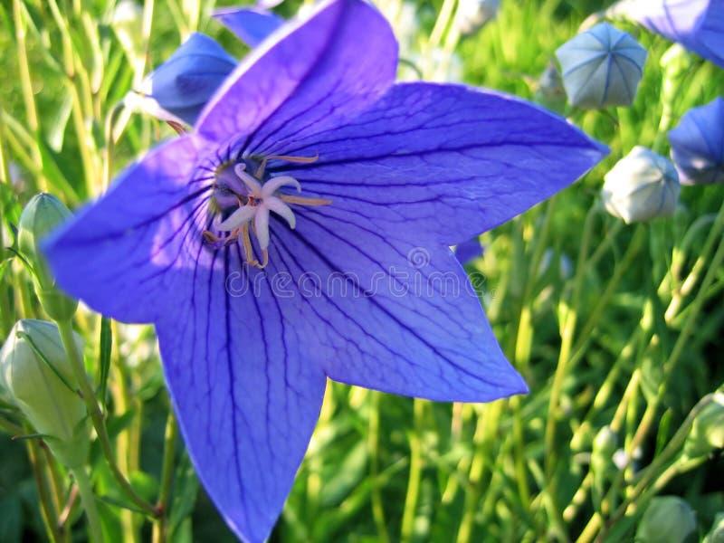 Platycodon grandiflorus Blume lizenzfreies stockbild