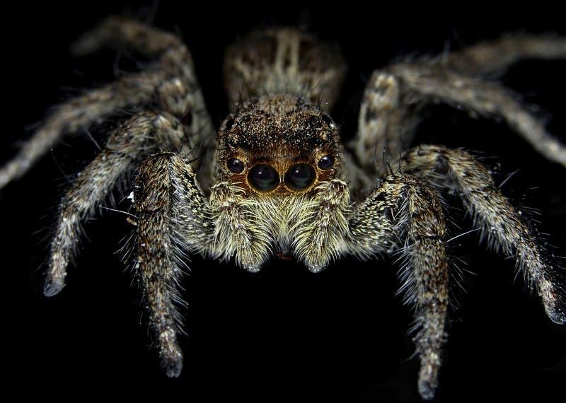 Platycryptus Undatus (Mannelijke Tan Spider) royalty-vrije stock fotografie