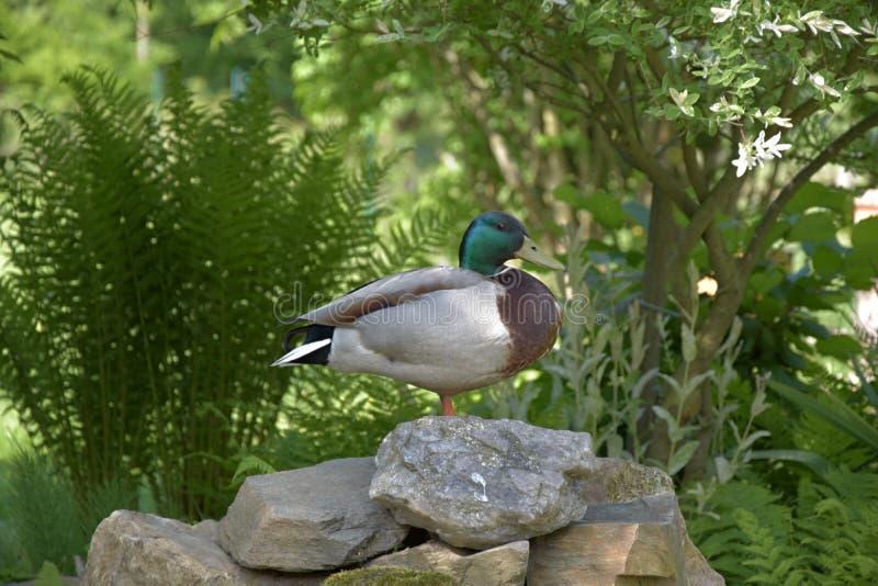 Platyrhynchos d'ana, canard sauvage se tenant sur une jambe sur une pierre photographie stock