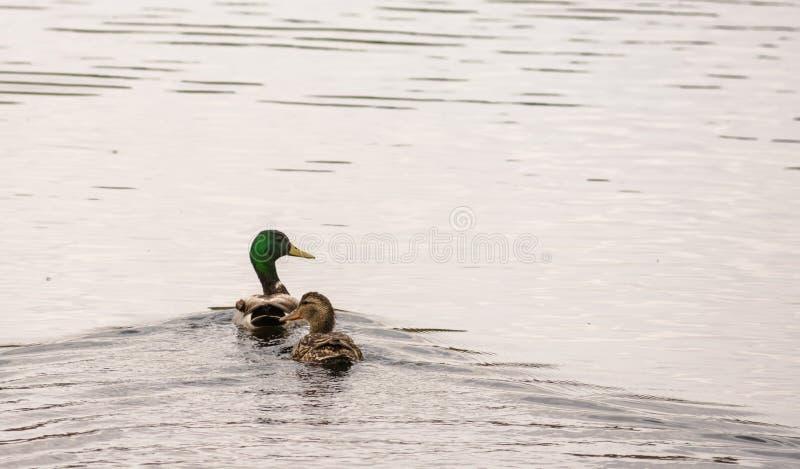Platyrhynchos de Drake e de Hen Mallard Ducks Anas fotos de stock royalty free
