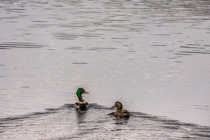 Platyrhynchos de Drake e de Hen Mallard Ducks Anas fotos de stock