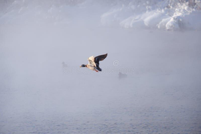 Platyrhynchos de las anecdotarios del pato salvaje volar en niebla en el lago del altai imagenes de archivo