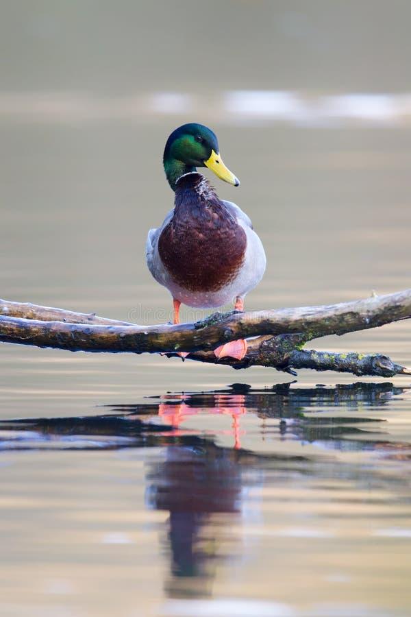 Platyrhynchos de las anecdotarios del pato silvestre foto de archivo libre de regalías