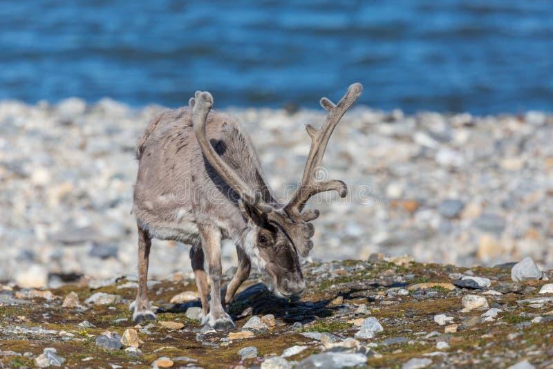 Platyrhynchus de tarandus de rangifer de renne du Svalbard avec grand a image stock