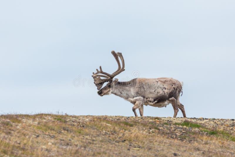 Platyrhynchus de tarandus de rangifer de renne du Svalbard marchant sur g photos libres de droits