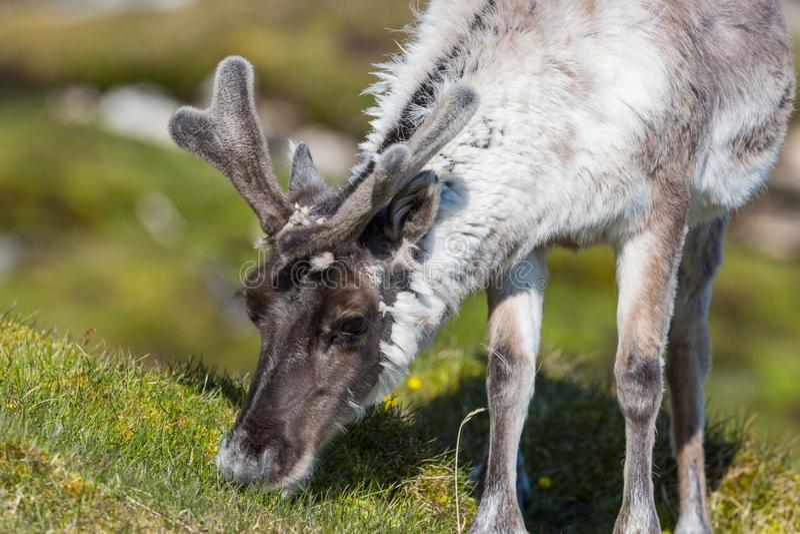 Platyrhynchus de tarandus de rangifer de renne du Svalbard passant en revue dedans image stock