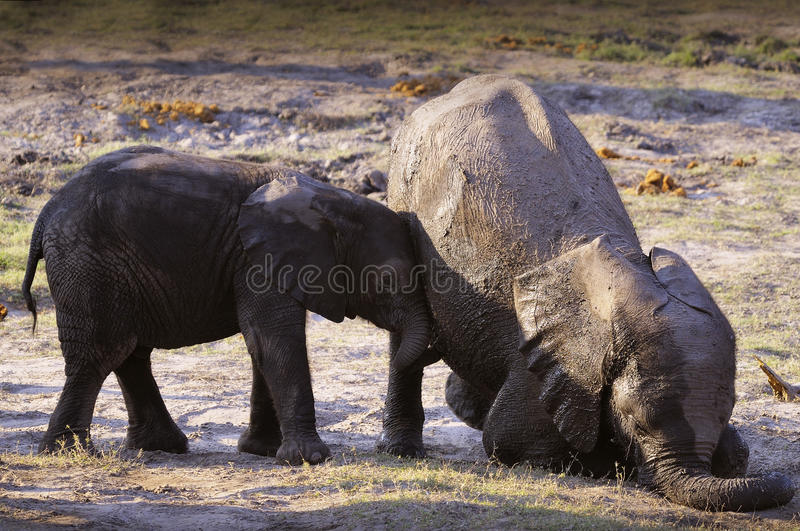 Play with me!. This picture it was taken in Botswana, Chobe national park stock photography
