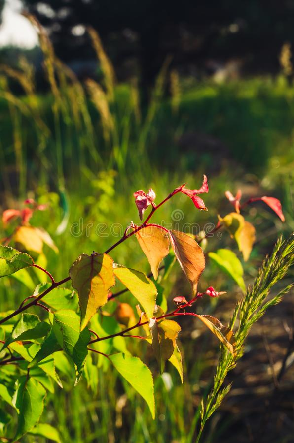 The play of sunlight in the multi-colored foliage of the apricot tree. Soft focus stock photography
