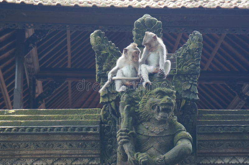 Play time. The little monkies play in Bali temple stock photos