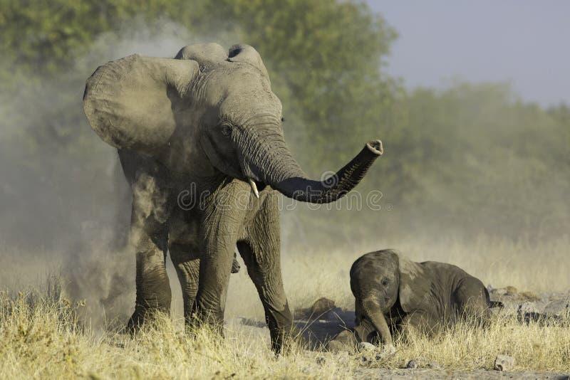 At Play. Young Elephant paying with sand, Hwange National Park, Zimbabwe royalty free stock photography