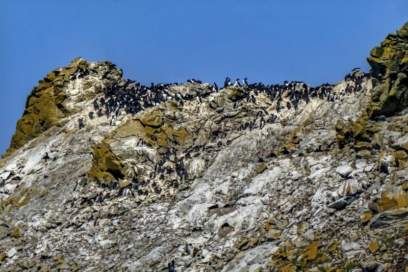 Playa blanca negra común Oregon de Bandon de los pájaros de Muures foto de archivo