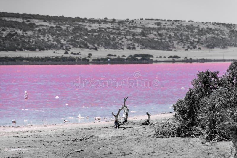 Playa con la madera de la deriva del lago rosado al lado de Gregory en Australia occidental coloreada en blanco y rosado negros fotos de archivo