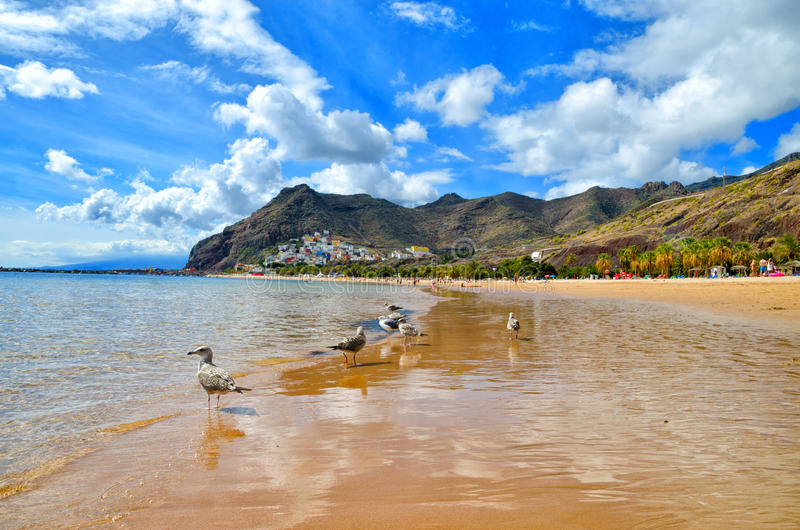 Playa de Las Teresitas near Santa Cruz de Tenerife. Yellow sand beach in the north of Tenerife. Gulls on Teresitas beach. Canary Islands, Spain stock photos