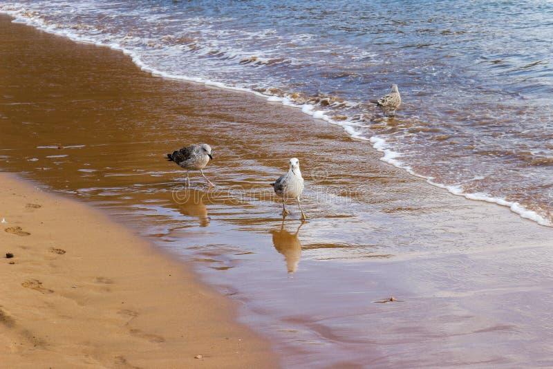 Playa de Las Teresitas, Spanien, Teneriffa, Kanarienvogel stockbild