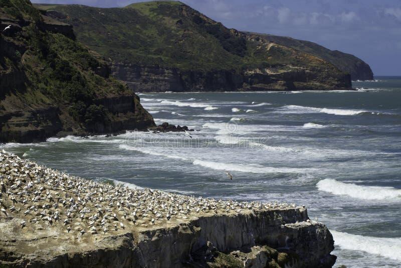 Playa de Muriwai de la colonia de Gannet cerca de la playa de la arena del negro de Auckland imagenes de archivo