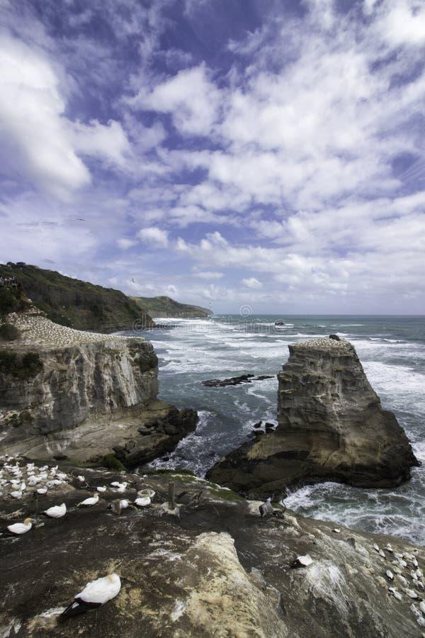 Playa de Muriwai de la colonia de Gannet cerca de la playa de la arena del negro de Auckland imágenes de archivo libres de regalías