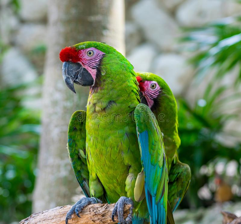 Tropical Green Parrots stock images