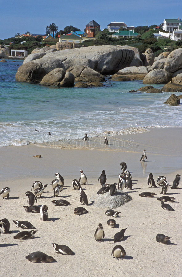 Playa del pingüino imagen de archivo