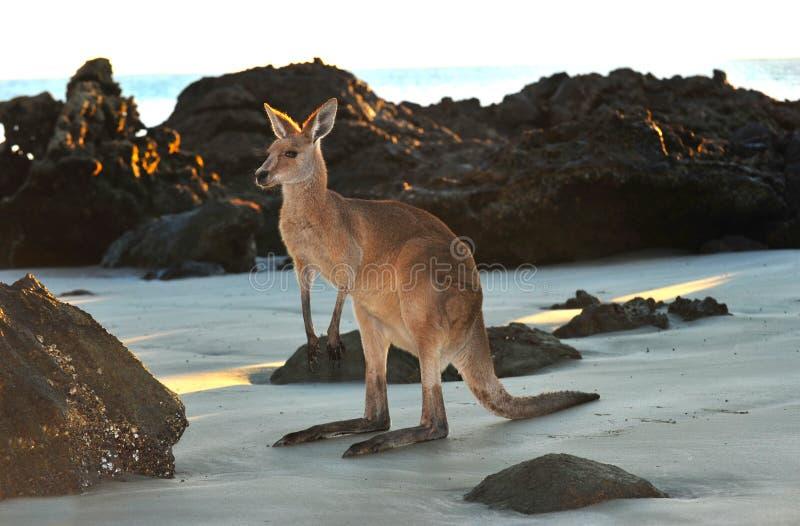 Playa gris del este australiana del canguro, Queensland imágenes de archivo libres de regalías