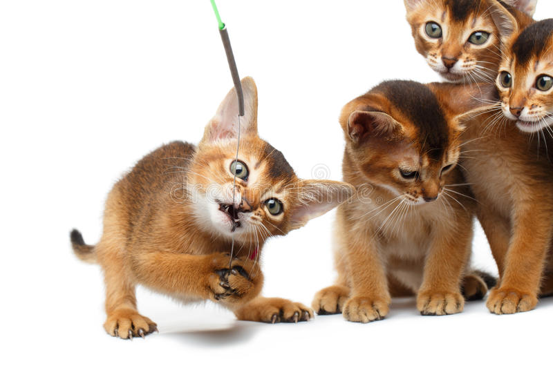 Playful Abyssinian four Kitten on Isolated White Background stock photo