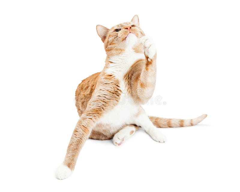 Playful Adult Cat Raising Paw Looking Up. Pretty orange and white cat sitting on a white studio background raising paw to play and looking up stock photo