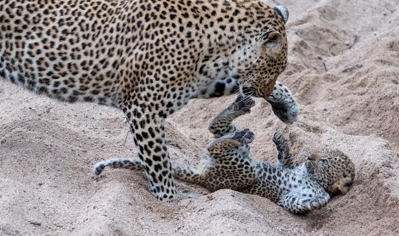 Adult female leopard and cub playing harmlessly in the sand at Sabi Sands safari park, Kruger, South Africa stock images