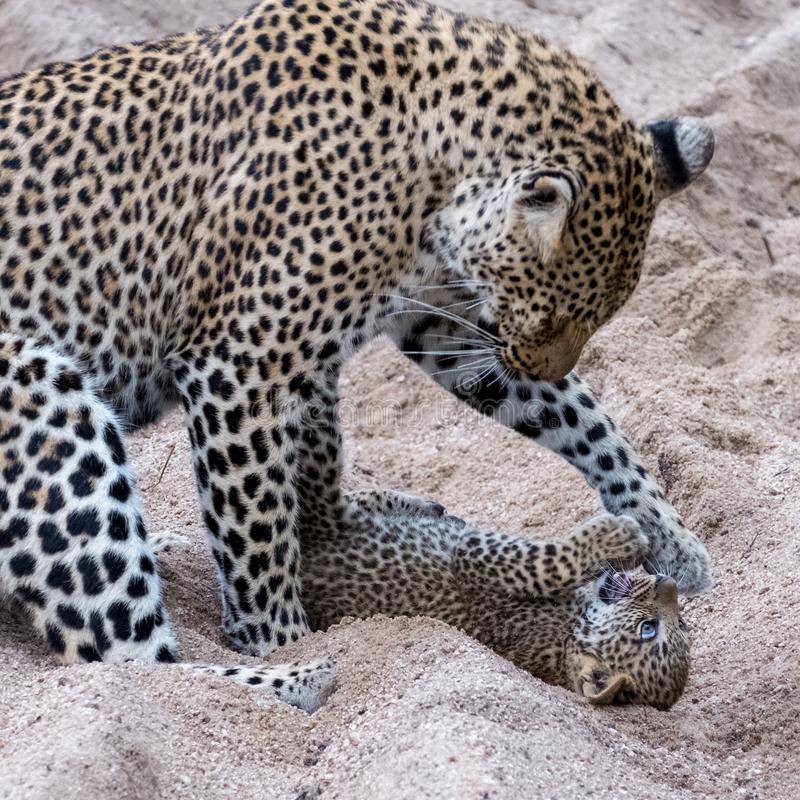 Adult female leopard and cub playing harmlessly in the sand at Sabi Sands safari park, Kruger, South Africa stock image