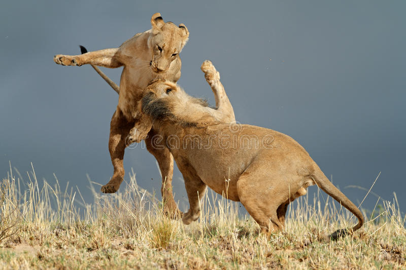 Download Playful African lions stock photo. Image of natural, dangerous - 39734982