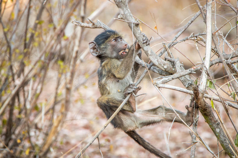 Playful Baboon in the Kruger National Park, South Africa. stock image