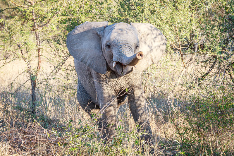 Download Playful baby Elephant. stock photo. Image of conservation - 83715554