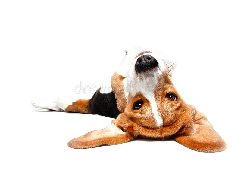 Playful Beagle. Puppy dog rolling on his back royalty free stock image