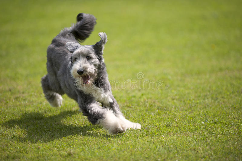 Playful Bearded Collie running on green grass, short coat stock photos