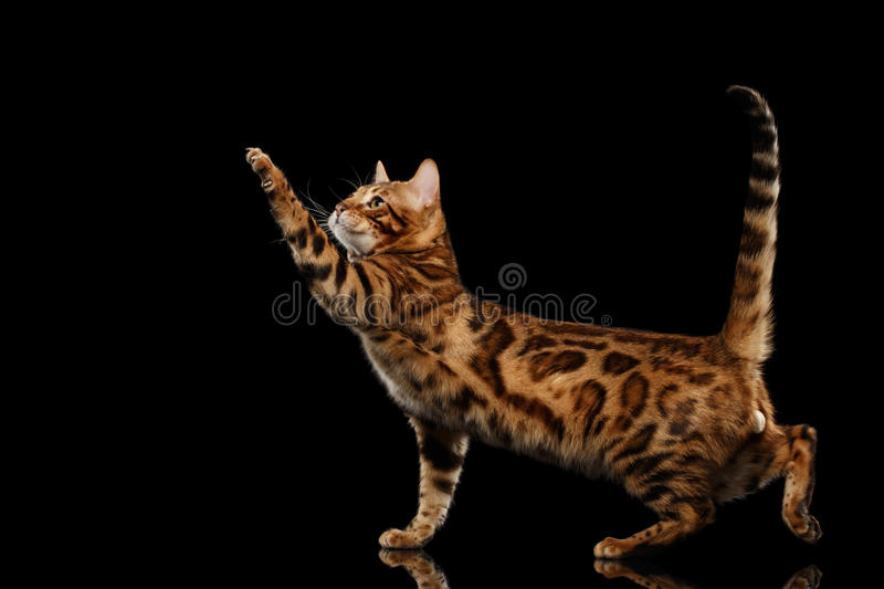 Playful Bengal Male Cat Standing, Raising paw, Isolated Black Background. Playful Bengal Male Cat with beautiful spots Standing and Raising up paw on Isolated royalty free stock photos