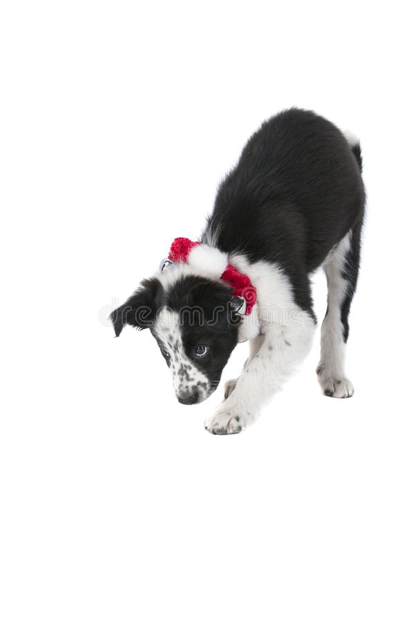 Border Collie Dog in Holiday Christmas Collar looking guilty is. Playful Border Collie puppy in holiday Christmas collar on white backdrop stock photo