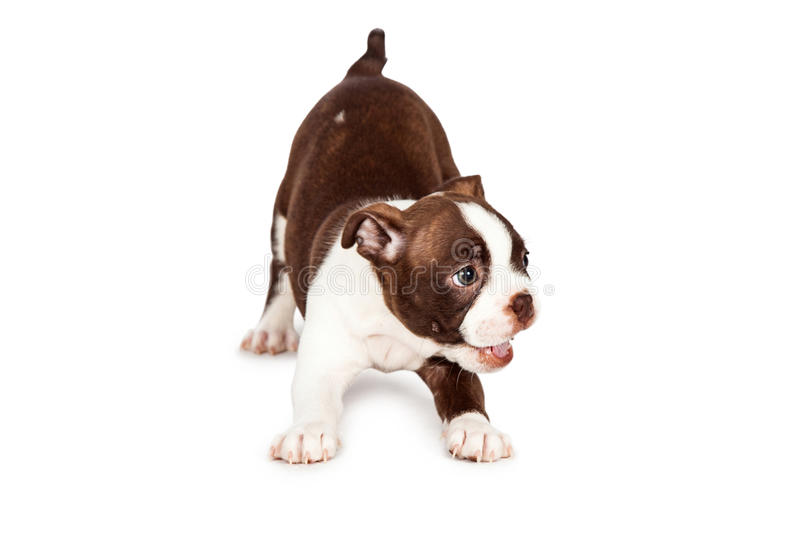 Top Terrier Bow Adorable Dog - playful-boston-terrier-puppy-dog-cute-happy-little-seven-week-old-bowing-down-to-play-54649017  Picture_19646  .jpg