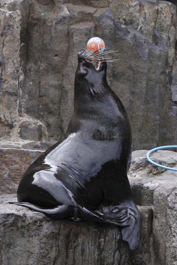 Download Playful brown fur seal stock photo. Image of nature, arctocephalus - 15239750