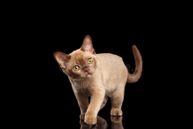 Playful Burmese kitten Isolated black Walking and Curiously Looking up royalty free stock photo