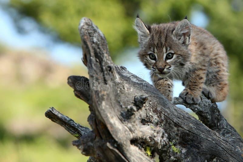 Playful Canadian Lynx Kitten royalty free stock photos