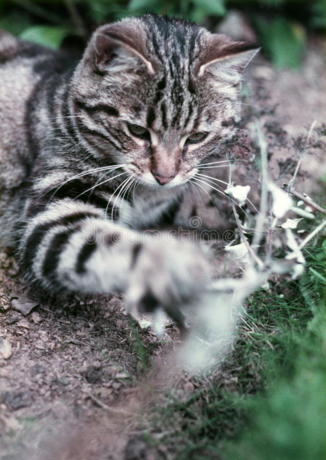 Download Playful Cat stock image. Image of tabby, pawing, grass - 10370591