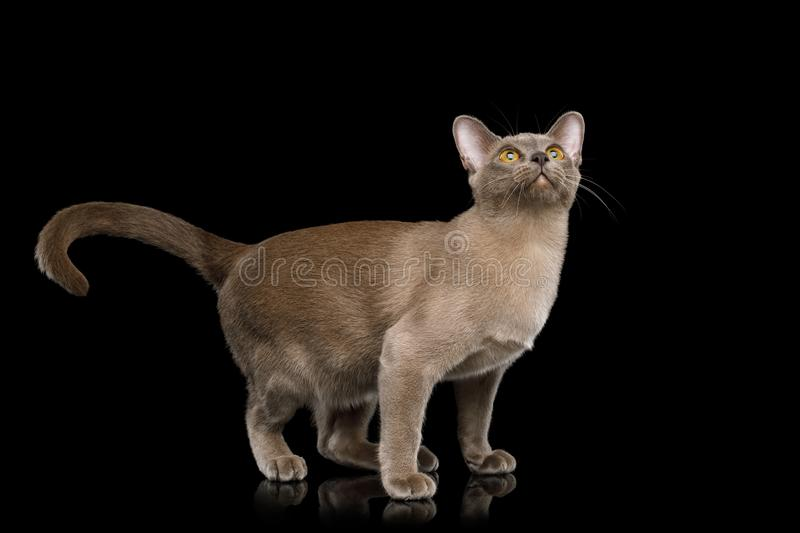 Brown burma cat isolated on black background. Playful Cat Standing and Looking up isolated on black background, front view royalty free stock images